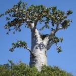15-огуречное дерево-остров Сокотра. Йемен