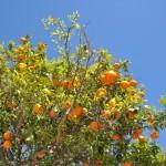 Апельсины повсюду