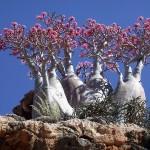 1-Пустынная роза. Остров Сокотра