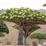 3-Драконово дерево. Сокотра