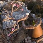 3-Роза пустыни. Остров Сокотра