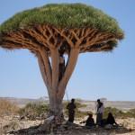 5-Драконово дерево. Сокотра