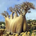 5-Роза пустыни. Остров Сокотра