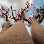 7-Роза пустыни. Остров Сокотра